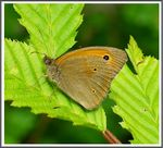 Title: The Meadow Brown (Maniola jurtina)