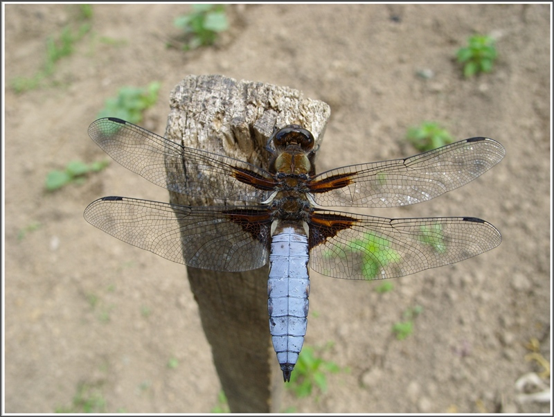 The Broad-bodied Chaser