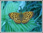 Title: The Marbled Fritillary (Brenthis daphne)