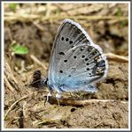 Title: The Amanda's Blue (Polyommatus amandus)
