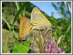 Title: The Essex Skipper (Thymelicus lineola)