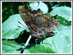 Title: The Comma (Polygonia c-album)