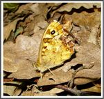 Title: The Speckled Wood (Pararge aegeria)