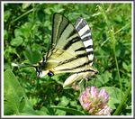 Title: The Scarce Swallowtail