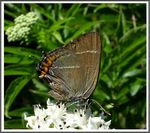 Title: The White-letter Hairstreak