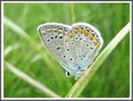 Title: The Common Blue (Polyommatus icarus)