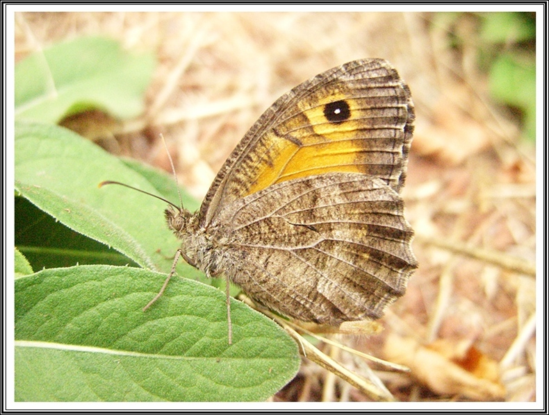 The False Grayling (Arethusana arethusa)
