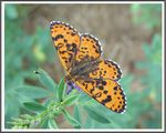 Title: The Spotted Fritillary (Melitaea didyma)
