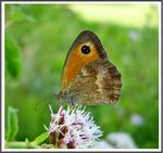 Title: The Gatekeeper (Pyronia tithonus)
