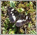 Title: The Southern White Admiral
