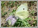 Title: The Small White (Pieris rapae)