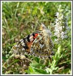 Title: The Painted Lady (Vanessa cardui)