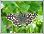 Title: The Grizzled Skipper (Pyrgus malvae)