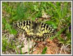 Title: The Southern Festoon -Zerynthia polyxena