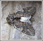 Title: The Great Prominent (Peridea anceps)