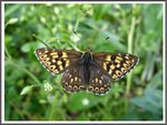 Title: The Duke of Burgundy (Hamearis lucina)