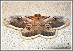 Title: The Giant Peacock Moth (Saturnia pyri)