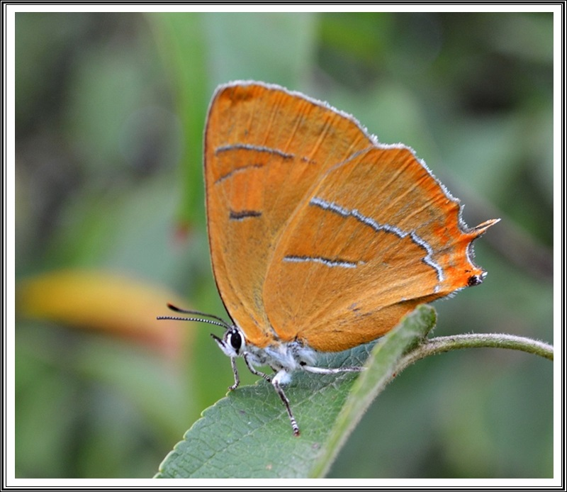 The Brown Hairstreak (Thecla betulae)