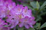 Title: Rhododendron