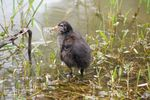 Title: Common Moorhen Chick