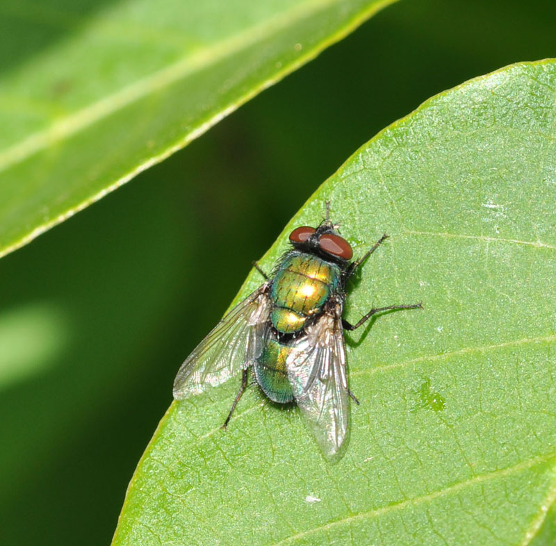 Fly resting