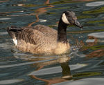 Title: Goose on the Birmingham canal