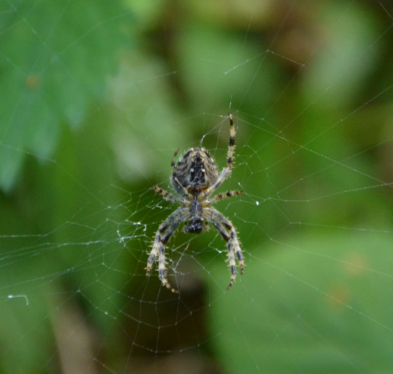 Late Summer Spider