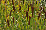 Title: green grow the rushes oh