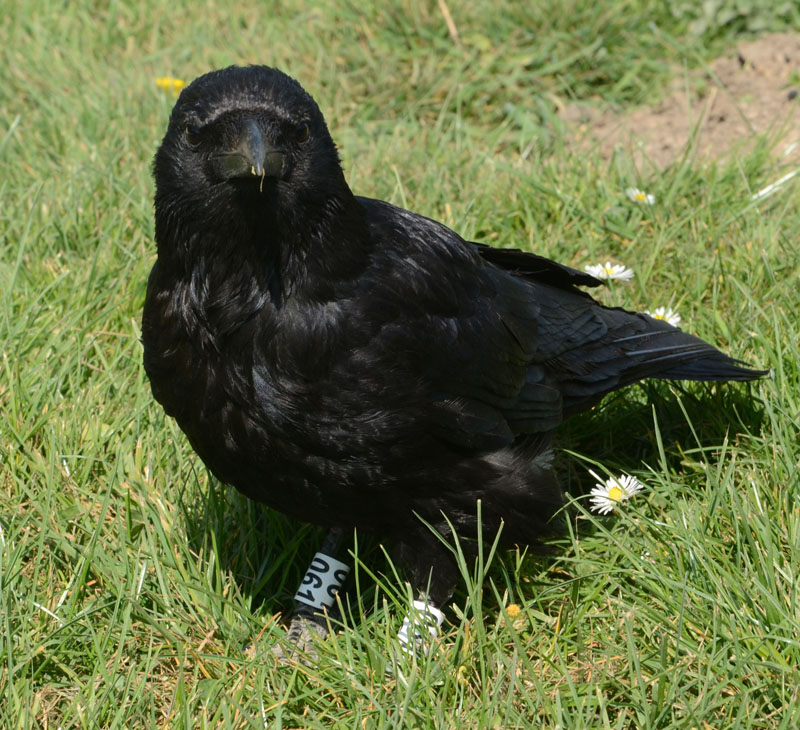 Crow with Heavy Metallegs