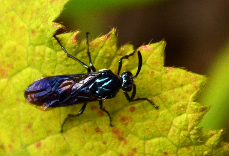 Iridescent insect 2