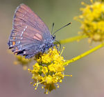 Title: Ilex Hairstreak