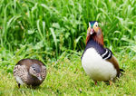 Title: Mandarin Ducks Bank HolidayNikon D7000