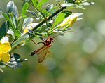 Title: solitary wasp