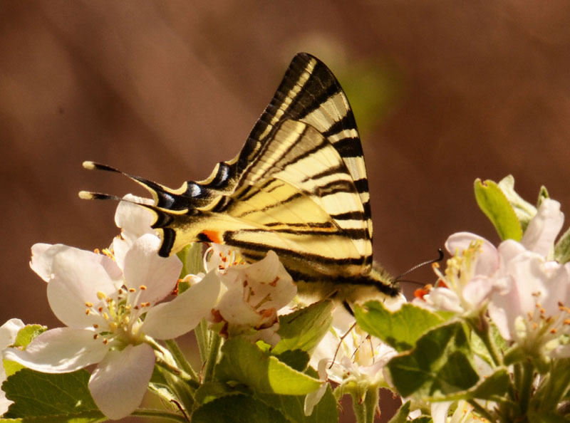 Swallowtail on apple blossom