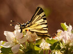 Title: Swallowtail on apple blossom