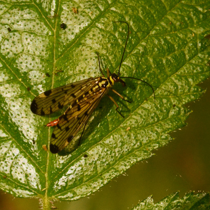 Spotted fly