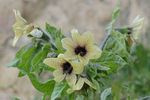 Title: Phrygian bloom