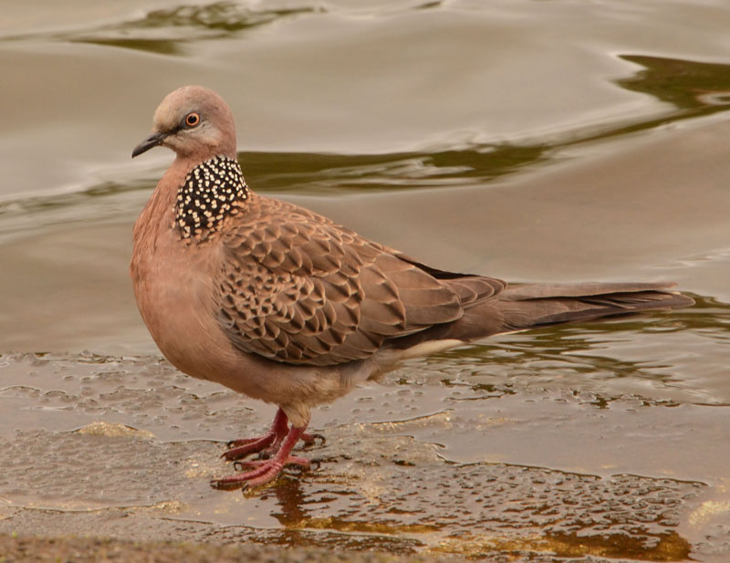Chinese Turtle Dove