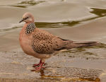 Title: Chinese Turtle Dove