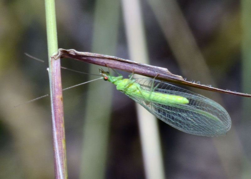 Lacewing with red eyes
