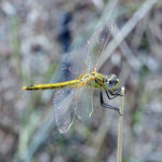 Title: Dragonfly on a stalk