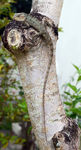 Title: Crested Tree Lizard