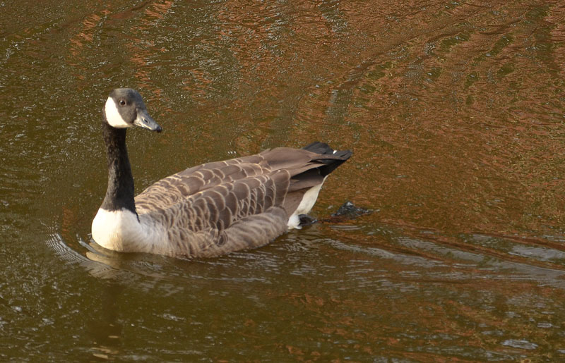 Canada Goose on the Canal