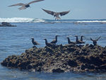 Title: Lesser Noddies on the reef