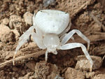 Title: Crab spider, Thomisus sp.