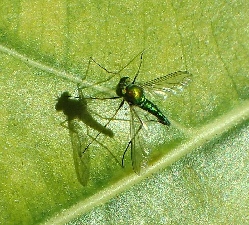 Narcissistic fly