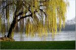 Title: weeping willow