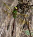 Title: Dragon Fly 6