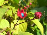 Title: Clerodendrum