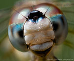 Title: Dragonfly Head